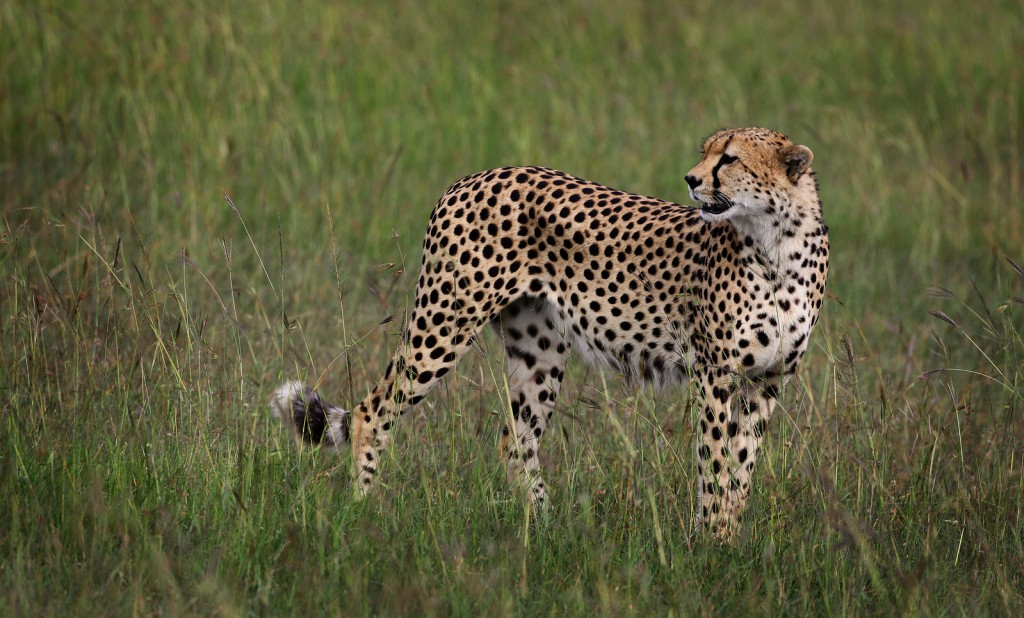 Cheetah-in-grass_EricRock