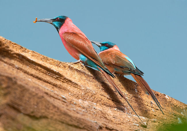 norther carmen bee eaters