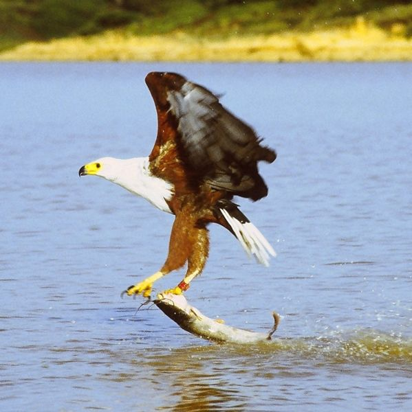 African Fish Eagle catching a large fish.