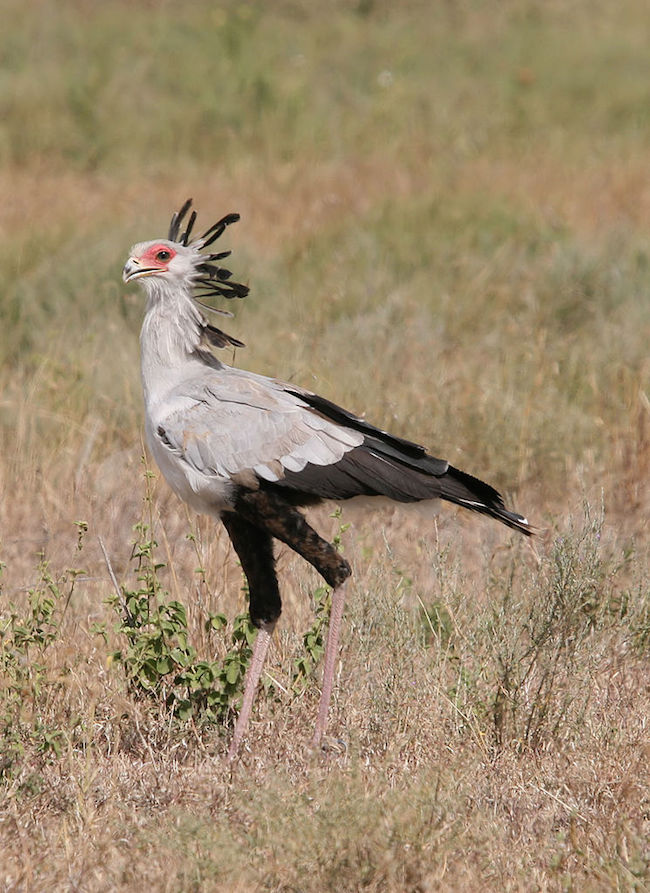 Secretary Bird Serengeti National Park Tanzania