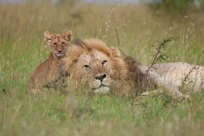 lion cub with his dad
