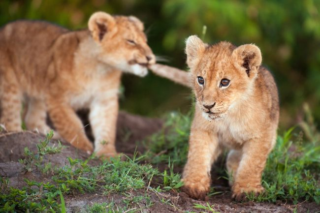 lion cub has its sibling by the tale