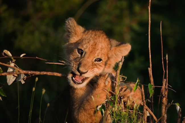Lion cub chewing on a branch.