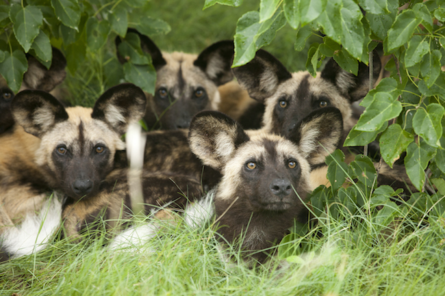 wild dogs huddled together in the trees in the okavango delta botswana