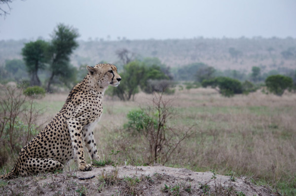 A cheetah scans the horizon from atop a termite mound in Sabi Sabi Private Game Reserve.