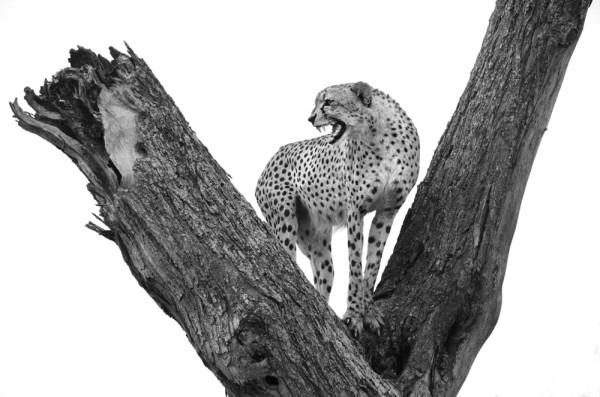 A cheetah perched in a baobab tree in the Sabi  Sabi Private Game Preserve.