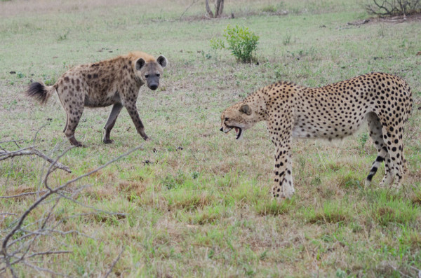 Face off between a cheetah and a spotted hyena.