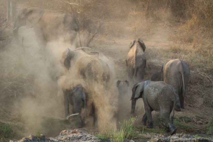 elephants giving themselves a dust bath at londolozi.