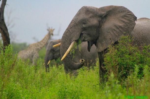 Elephant-and-giraffe-610x406