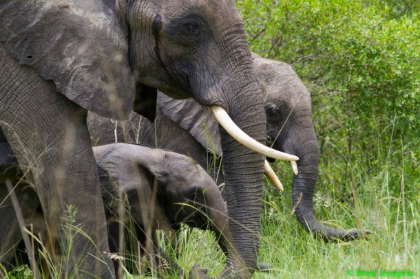 Elephants-and-calf-610x406