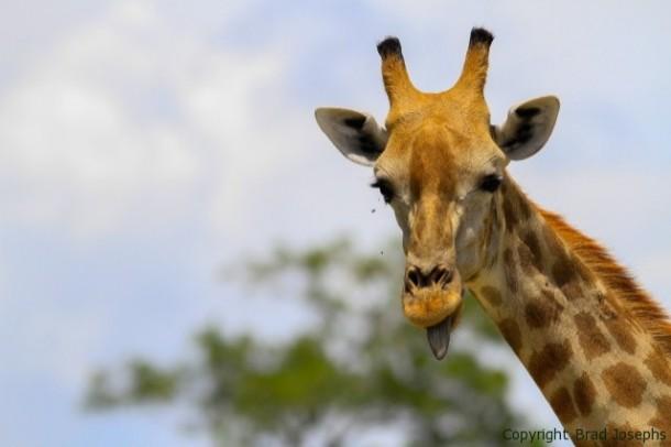 Giraffe-near-Kings-Pool-610x406