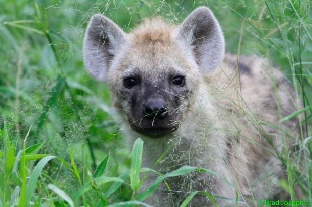 Hyena-pup-610x406