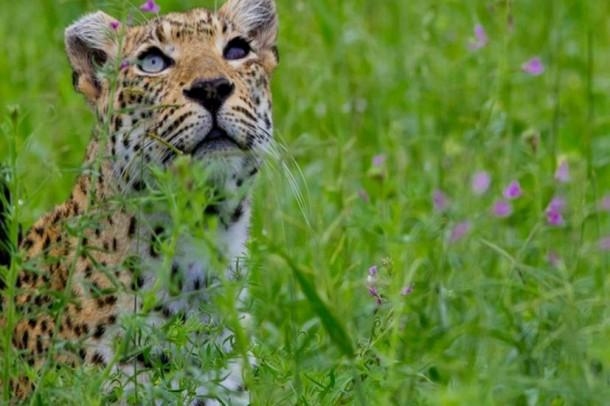 Leopard-missing-eye-610x406
