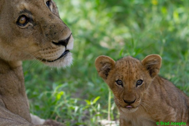 Lion-and-cub-610x406