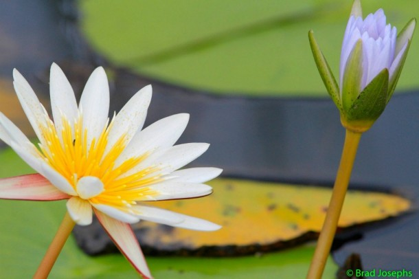 Lotus-Flowers-Okavango-Delta-610x406