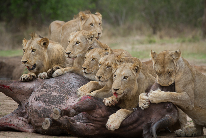 lions killing a buffalo at londolozi