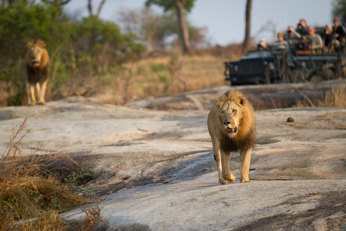 Male lions at Londolozi.