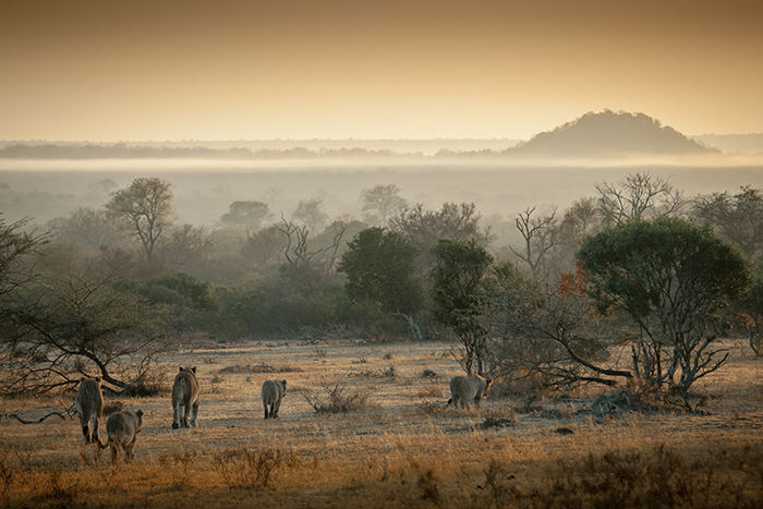 Londolozi lion pride at sun rise.