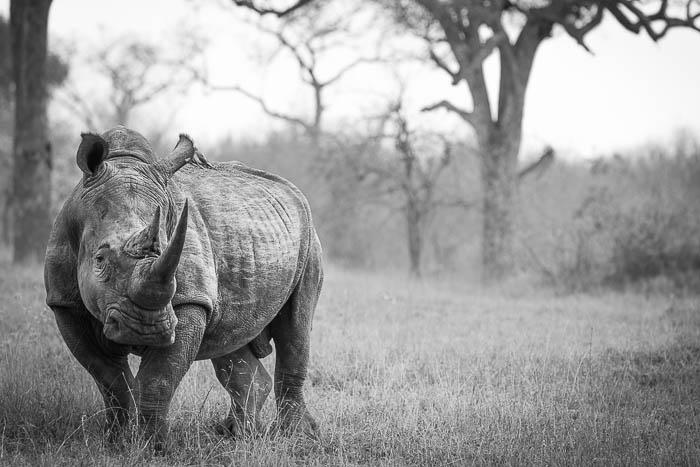 White rhino. Londolozi