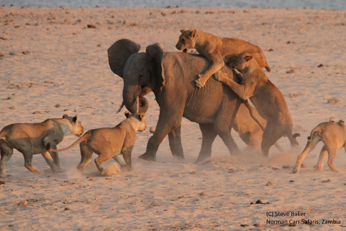 14 lions attack a young elephant.
