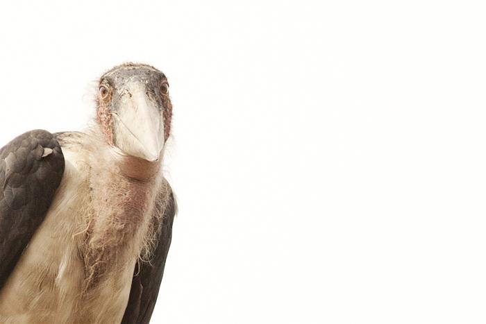marabou stork at londolozi