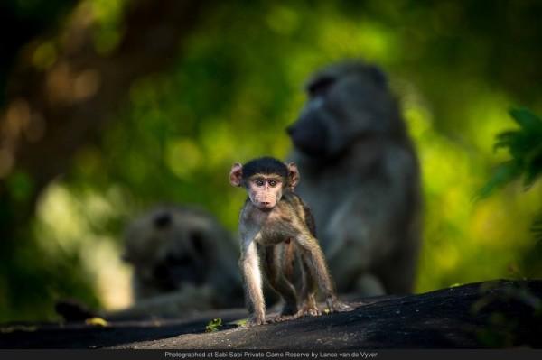 baby baboon sabi wabi