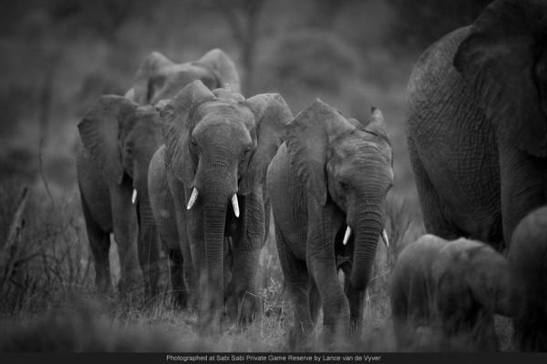 baby elephants walking in a link sabi sabi