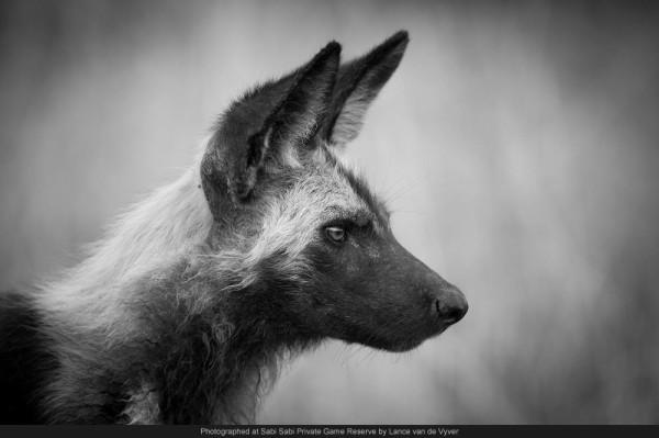 wild dog profile sabi wabi