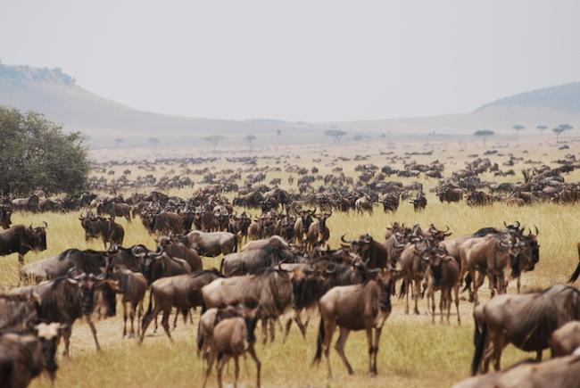 wildebeest migration serengeti national park