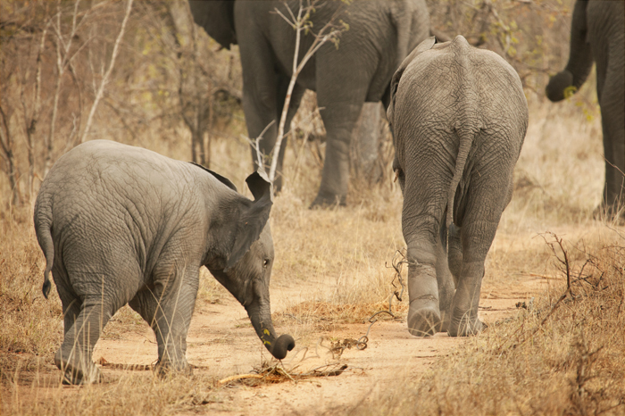 young elephant tries to remove wire from other elephants foot