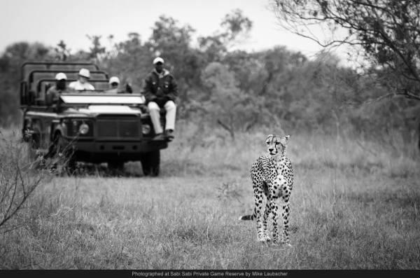 cheetah sabi sabi