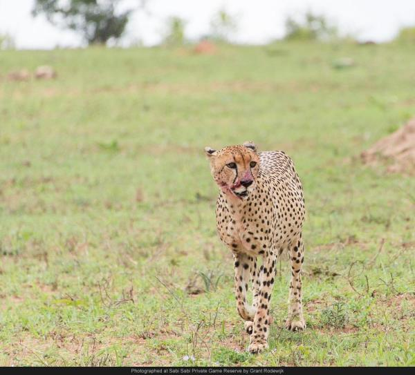 cheetah with blood on its face sabi sabi