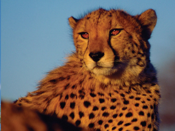 Cheetah at Okonjima Reserve in Namibia
