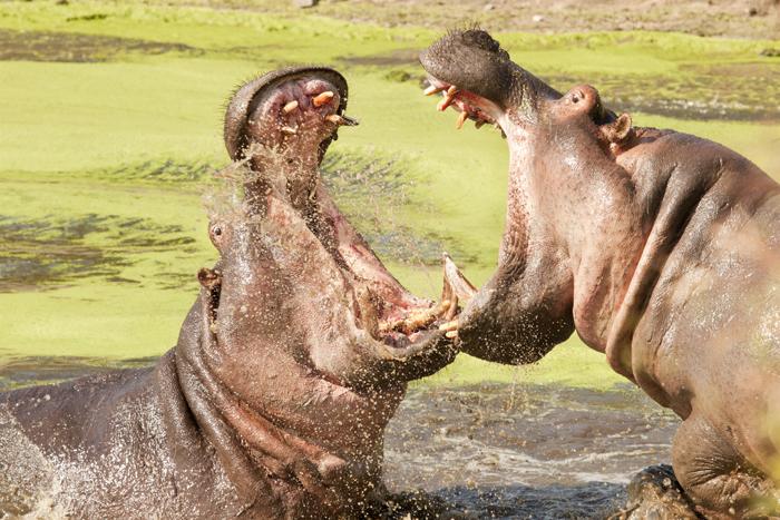 hippos bulls battling for territory