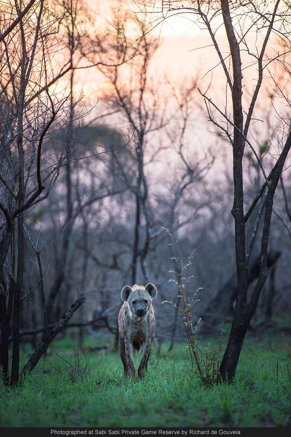 hyena sabi sabi