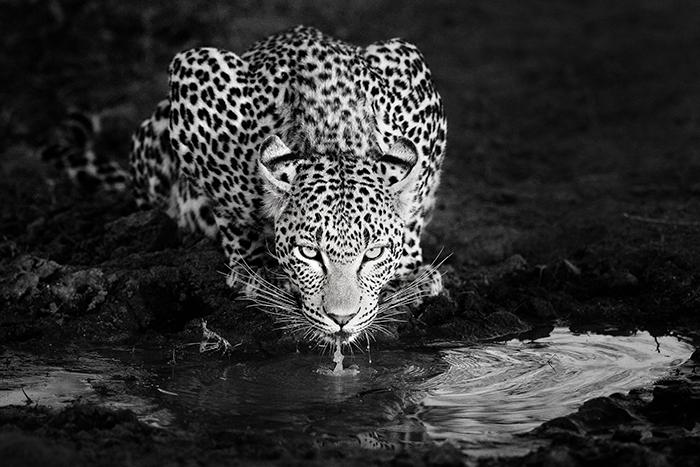 zz leopard drinking