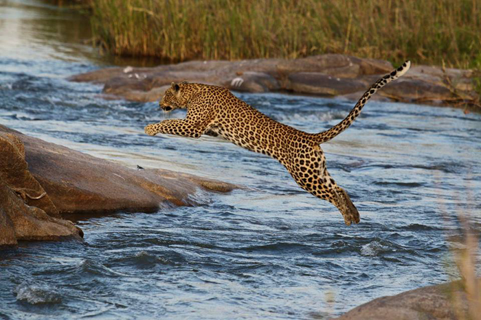 leopard leaping over water