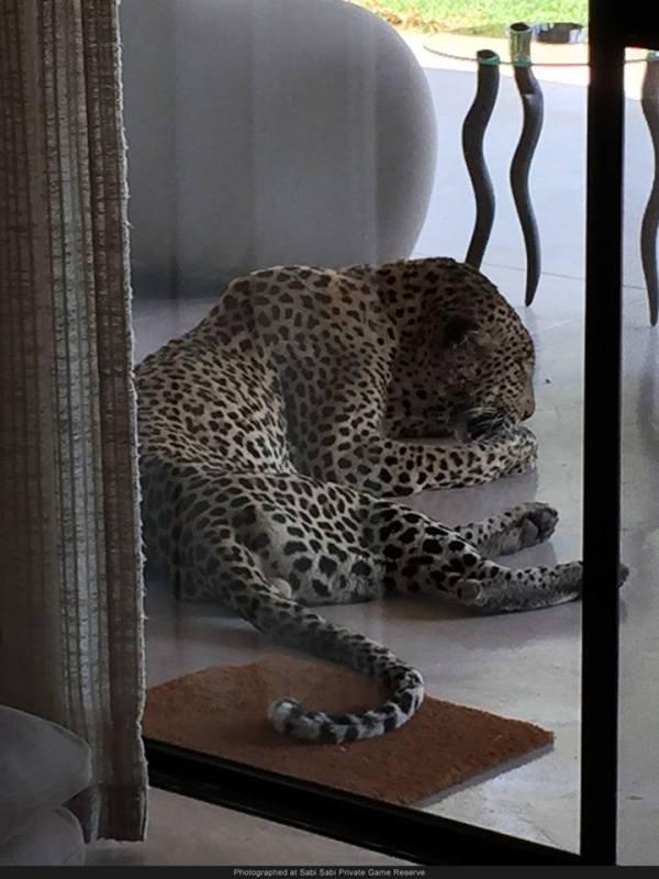 leopard at the window sabi wabi