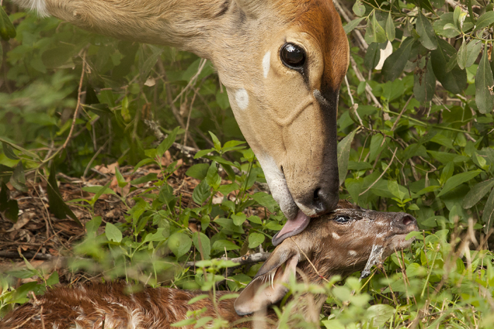Nyala clueing its new born fawn