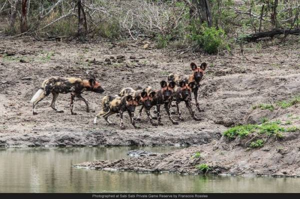wild dogs pond sabi sabi