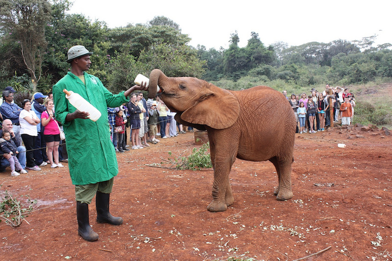 Man gives a baby elephant a bottle at the David Sheldrick Wildife Trust in Nairobi.