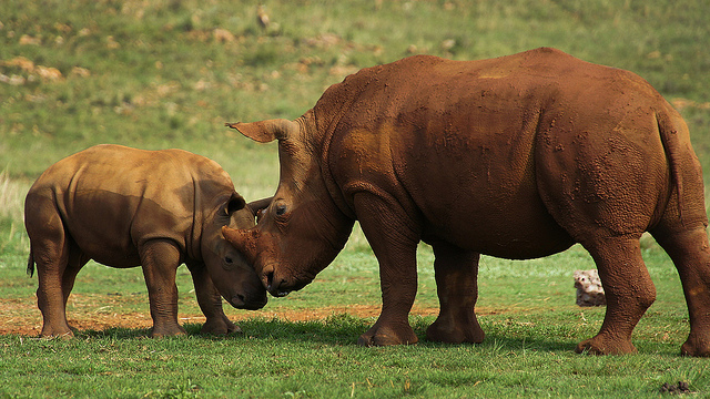 mother and baby rhino nuzzle each other in Kruger National Park.