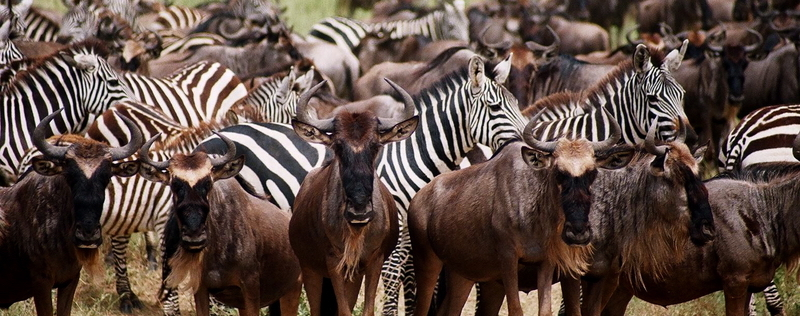 Wildebeest and zebras on the Serengeti during the Great Migration