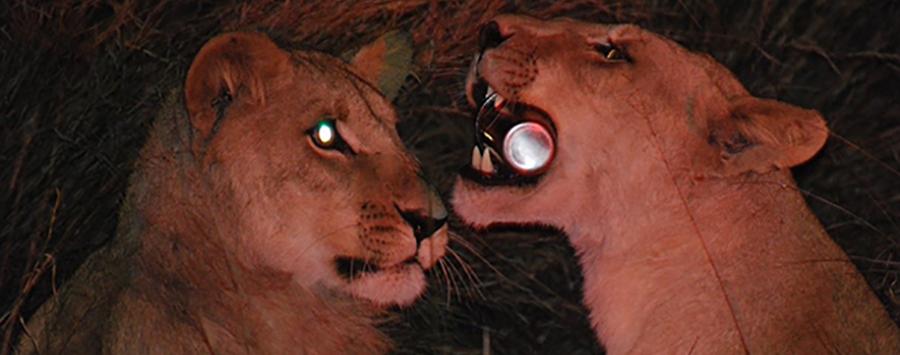 Lions on a Botswana Safari