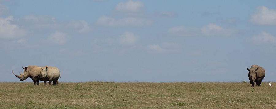Rhinos on a Kenya Safari