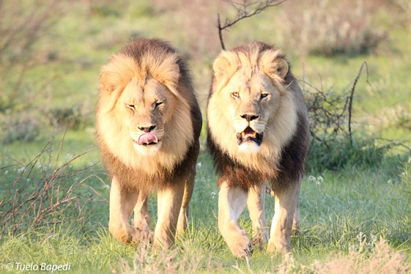 Kalahari black maned lions walking in tandem.