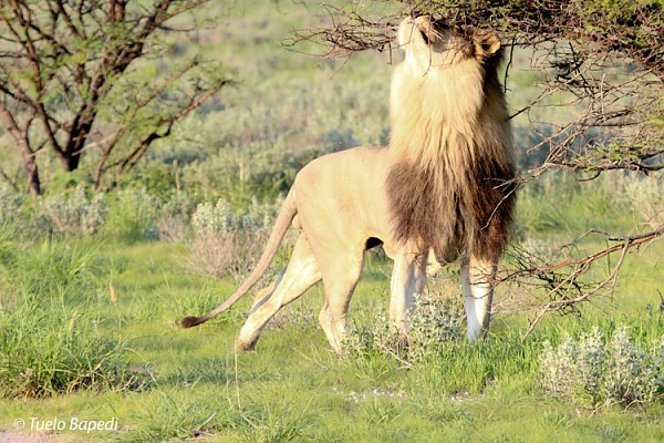 Kalahari black maned lion marking a tree.