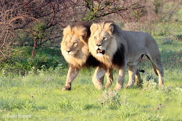 kalahari male lions on the move.