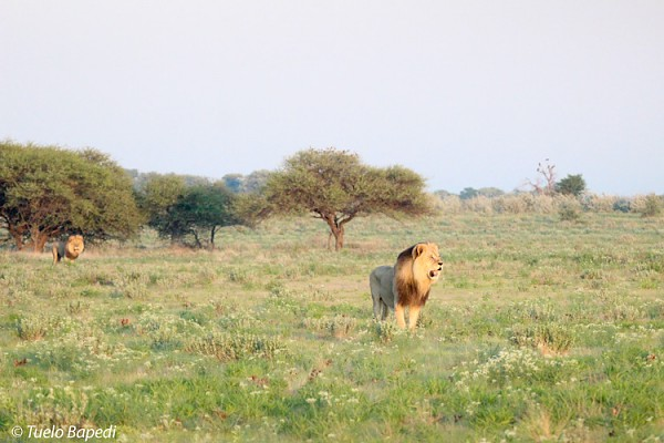 kalahari black maned lion surveys his territory