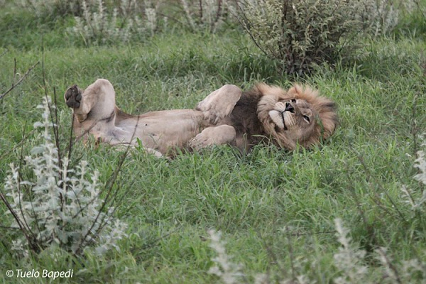 black maned lion relaxing in the grass